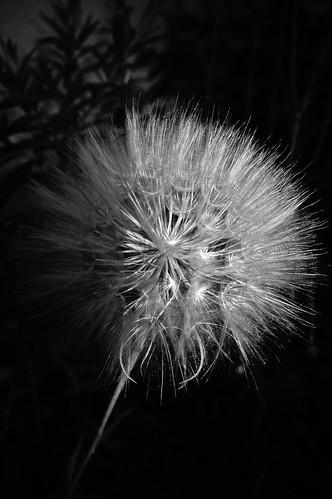light sunset blackandwhite bw plants sony dandelion