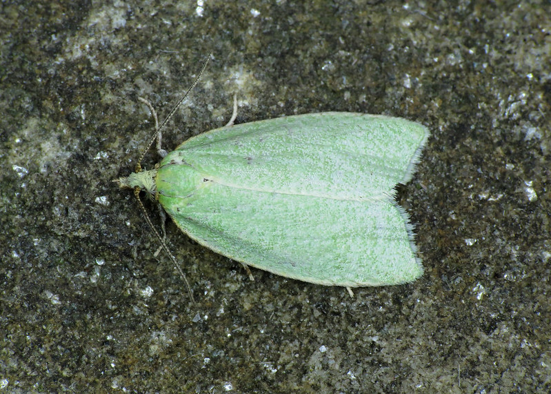 1033 Green Oak Tortrix - Tortrix viridana