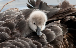 black swan (Cygnus atratus)-2   by rawshorty