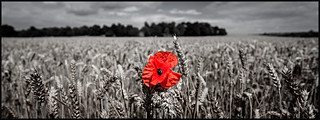 IMG_6802 Poppy in field near Yarm Pano 03-08-14 LowRes | by canonway