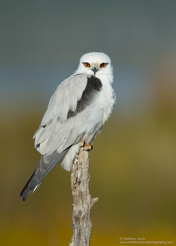 Black-shouldered Kite (Elanus axillaris) | by matthewjonesphotography.com