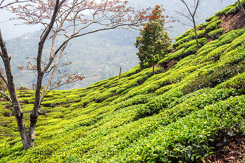 DSC07226 - Tea Plantation on Hill near Darjeeling (India) | by loupiote (Old Skool) pro