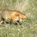 Flickr photo 'Red Fox' by: 0ystercatcher.