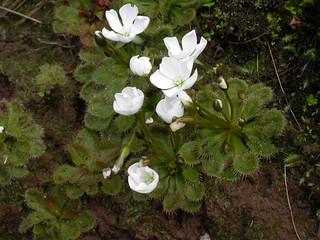 Drosera whittakeri ssp. whittakeri (scented sundew)