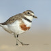New Zealand Double-banded Plover - Photo (c) Leo, some rights reserved (CC BY-NC-SA)