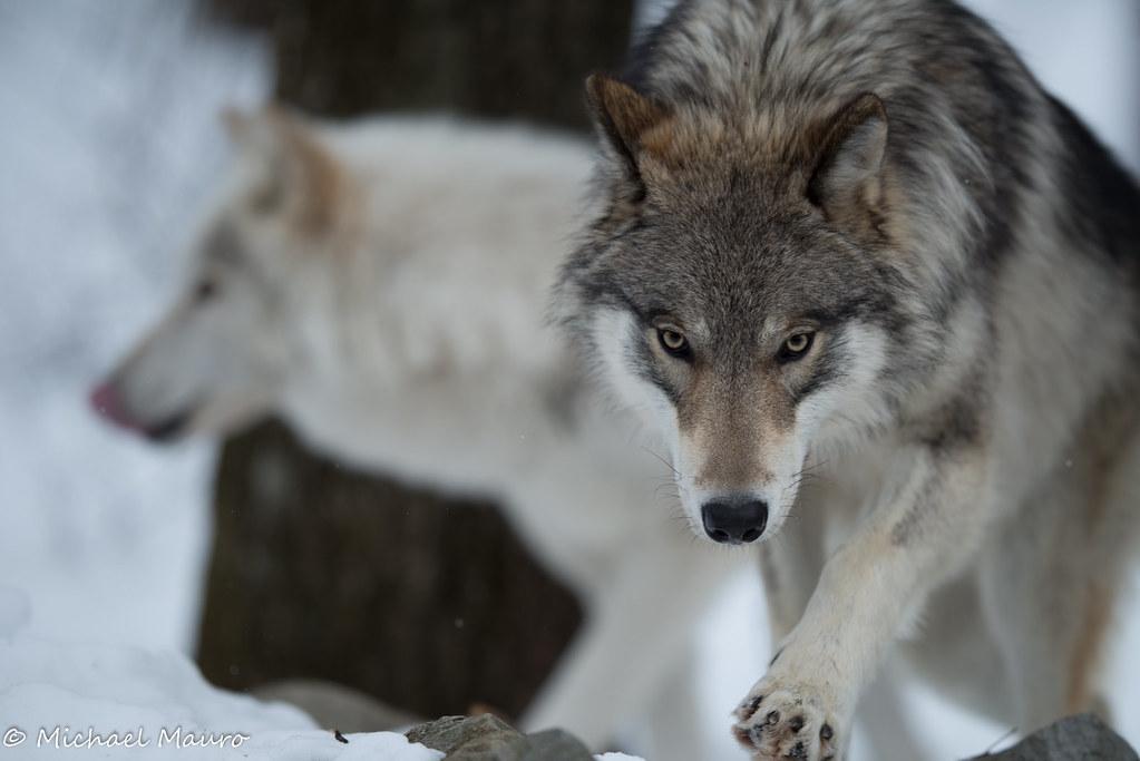 Lakota Wolf Preserve