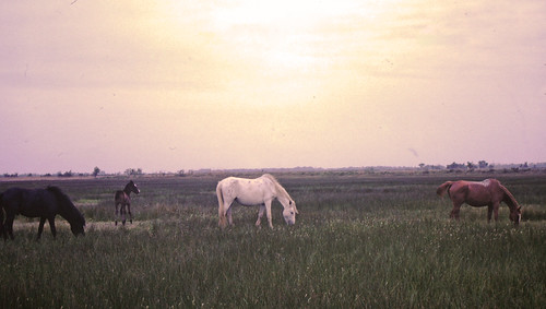Horses of the Camargue3 | by Tomottawa