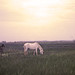 Horses of the Camargue3