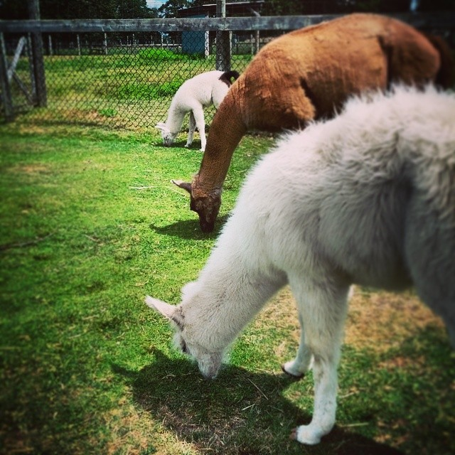 ¿Como se llama? Llamas in pajamas? Silence of the #llamas? #puns #zoo #NovaScotia #animals