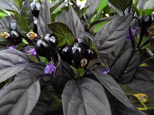 Black Pearl (С.annuum)   by Galina Chernova