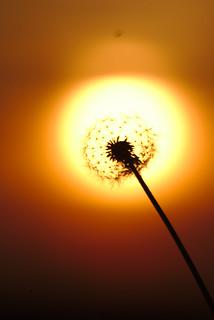 Fiery dandelion | by markoknuutila