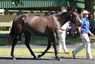 OBS Yearling Sale August 2014 | by Shazstock