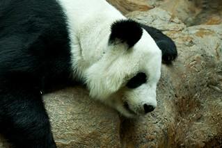 Panda Lin Hua at Chiang Mai Zoo, Thailand | by kimtetsu