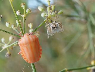 Graphosoma italicum - Ténéral (+ exuvie) | by Eric Barbier