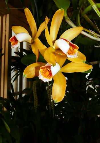 Cattleya forbesii 'Equilab' species orchid | by nolehace