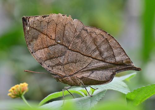 Kallima inachus {dead leaf butterfly}