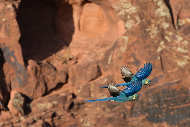 Lear's Macaws