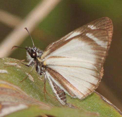 butterfly ecuador hesperiidae jorupe loja pyrginae pyrgini richhoyer urracalodge