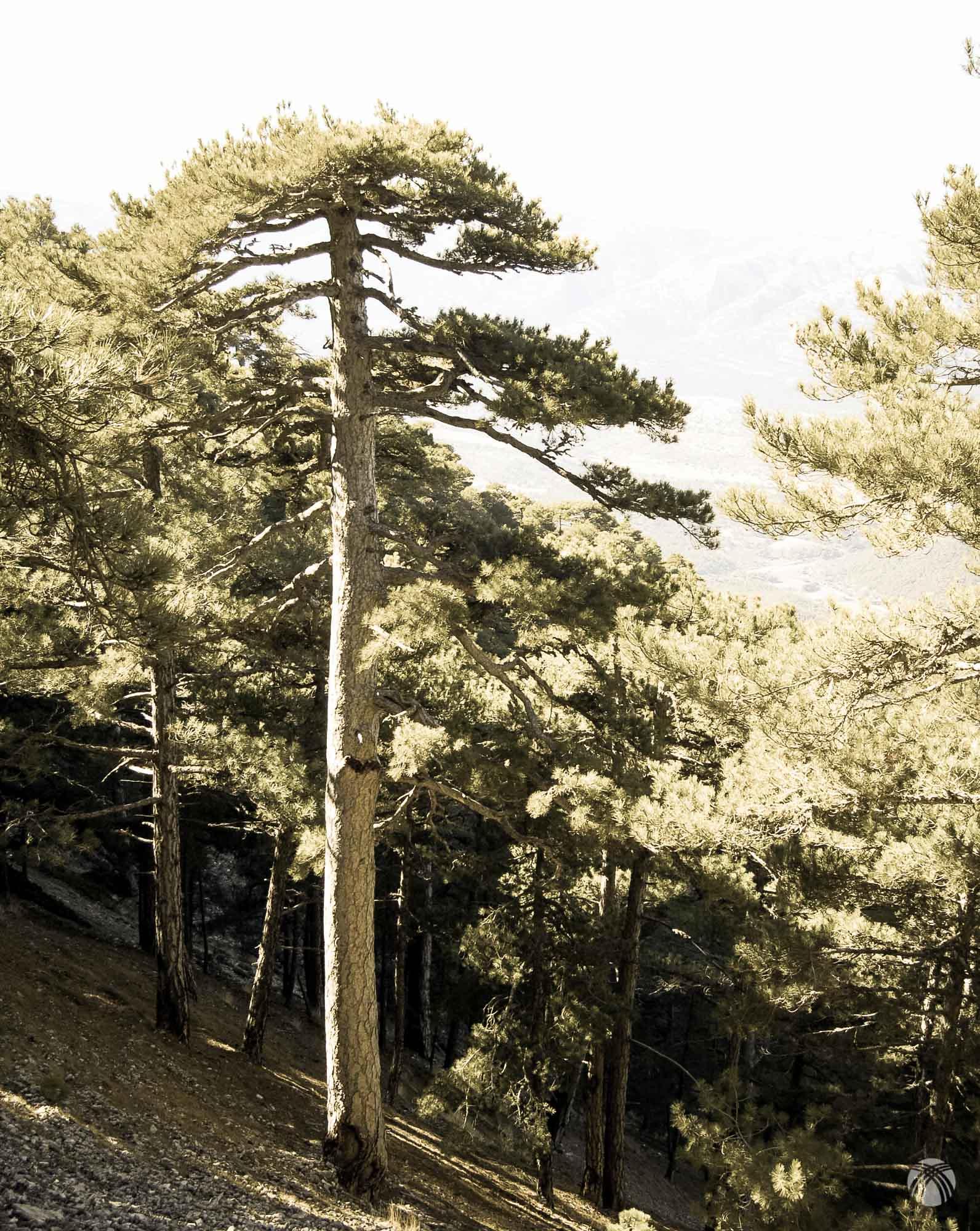 Espléndidos pinos
