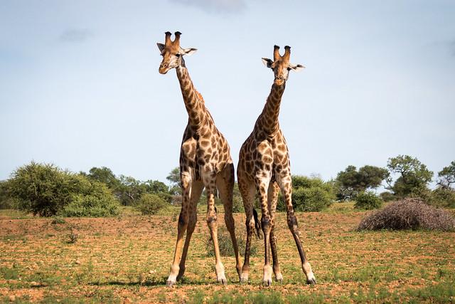 "Giraffe ""necking"""