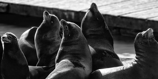 Row of Sea Lions | by Eric Kilby