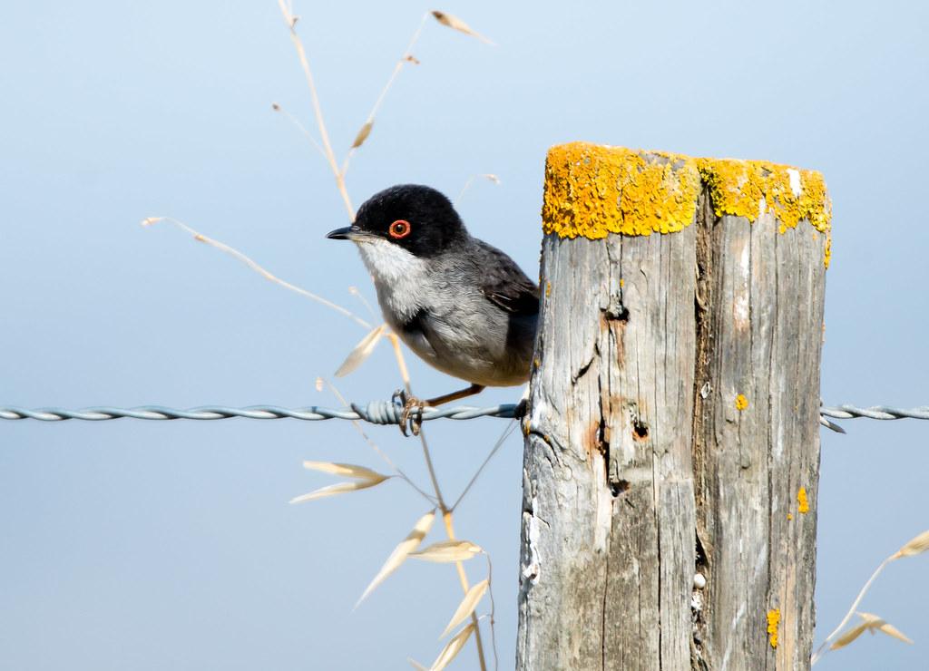 Toutinegra-de-cabeça-preta   Sylvia melanocephala   Sardinian Warbler