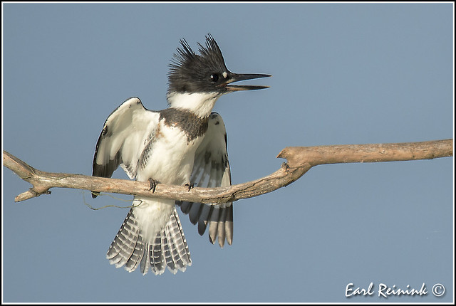 Belted Kingfisher - front view