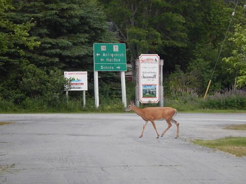 Sherbrooke - hert op de weg