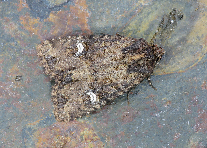 73.169 Common Rustic - Mesapamea secalis agg.