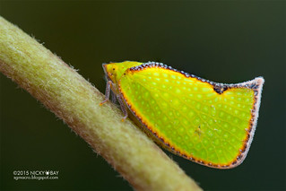 Flatid planthopper (Salurnis marginella) - DSC_1371