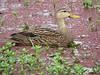 Mottled Duck by simonsr35