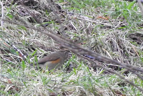 tarsiger cyanurus comox bc british columbia canada redflanked bluetail red flanked mega aba rare ebird