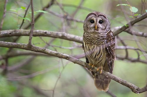 nikon northcarolina raptor owl tanglewood barredowl clemmons 600mm abphoto nikond4 ©adamberryphotography