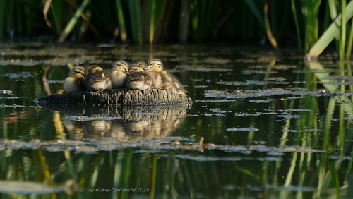 Canetons Colvert - Mallard Ducklings | by Monique Coulombe