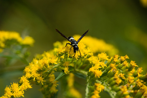 09666 Sand Wasp | by rockerBOO