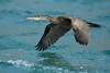Cormoran huppé - Phalacrocorax aristotelis (Les sept îles - Bretagne) 12 Aout 2014 #1 by ÇhяḯṧtÖρнε