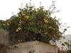 Solandra grandiflora-04