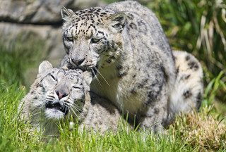 Mating snow leopards IV | by Tambako the Jaguar