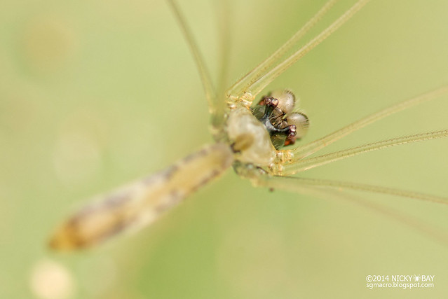 Daddy-Long-Legs Spider (Leptopholcus podophthalmus) - DSC_3563