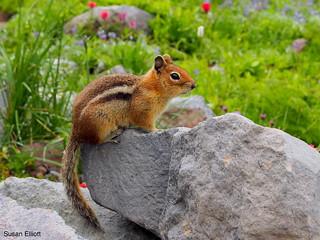 Cascade Golden-mantled Ground Squirrel, Callospermophilus saturatus