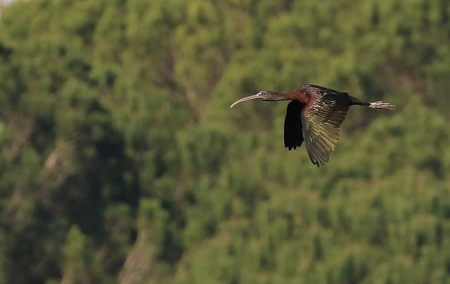 Ibis falcinelle - El Rocio/Andalucia/España_20160124_431