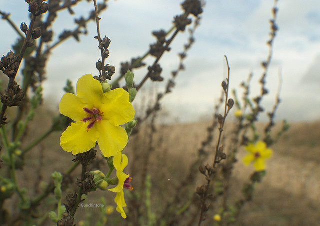 Tientayerna (Verbascum sinuatum),