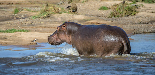 Well, Hippopotamus does mean Water Horse