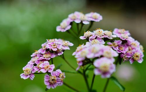 flower japan sapporo hokkaido 北海道 ノコギリソウ 札幌市 nikond7100 sigma1835mmf18dchsm