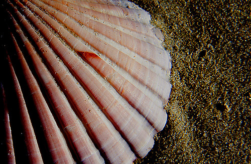 Scallop shell. | by Bernard Spragg
