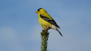 American Goldfinch, Spinus tristis | by The Forest Vixen's CC Photo Stream