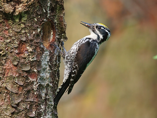 Eurasian Three-toed Woodpecker (male)
