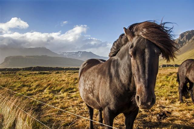 Icelandic Horse 2