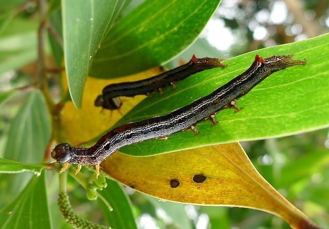 Achaea catocaloides (Minsangula) on Acacia auriculiformis