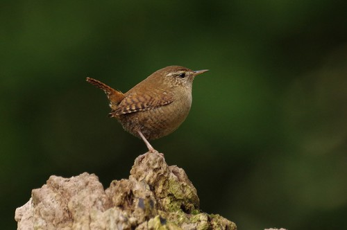naturereserve wildlife lackfordlakes wild bird wren suffolk woodland